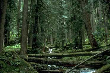 Howard Creek Old Growth Photo by Mark Lawler